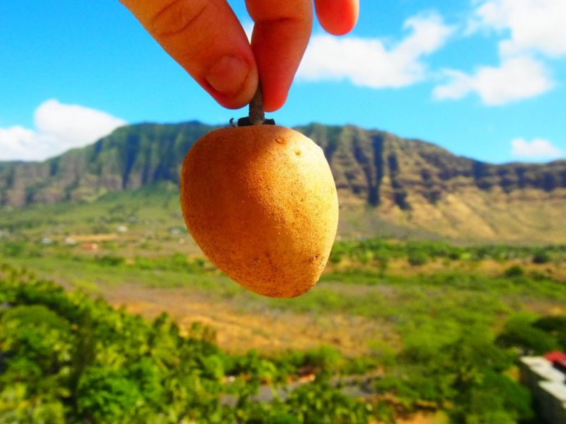 This little fruit is called a chico. It is deliciously sweet. The white meat inside tastes like brown sugar. Even though it's so sweet, the fruit is actually anti-diabetic, antioxidant, and it helps lower cholesterol!